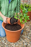 Step-by-step Planting an orange and blue themed container - Planting