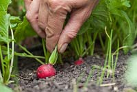 Step-by-step - Growing radish 'Scarlet Globe' and harvesting in early summer