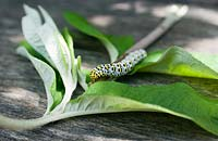 Cucullia verbsci - Mullien Moth caterpillar on Buddliea leaves