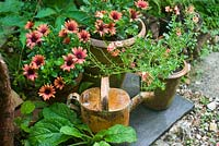 Osteospermum and Diascia in containers with rusty watering can