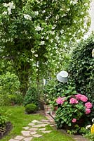 Garden path leading to metal gate under rose arch. Plants are Buxus, Hedera helix and Hydrangea macrophylla