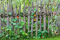 A rustic wooden picket fence with Tropaeolum majus