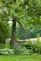 Wooden ladder on pear tree with planting of Rosa 'Bobby James', Pear 'Gaishirtle', Campanula latifolia var.macrantha, Digitalis purpurea, Hedera helix and Hosta