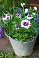 Osteospermum 'Flower Power Double Berry White' in galvanised bucket with cream escholtzia