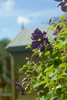 Clematis viticella 'Etoile Violette' with green garden shed
