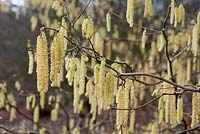 Corylus avellana with catkins