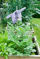Vegetable beds with potatoes, sorrel and purple childs cardigan scarecrow