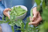 Step by step - Growing peas in raised vegetable bed, harvesting and shelling