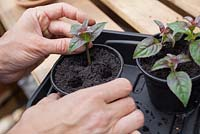 Step by step - Taking cuttings from Fuchsia