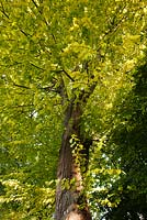 Ulmus glabra 'Lutescens' -  Golden Wych Elm in July, Brighton, East Sussex