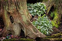 Tree trunk and cyclamen, Highgrove Garden, March 2008.