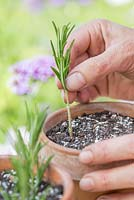 Step by step for propogating Rosemary plants and repotting