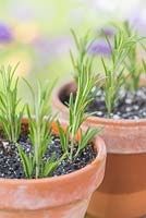 Step by step for taking cuttings - propagation of Rosemary plants