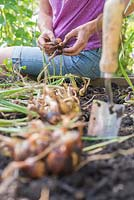 Step by step for growing shallots in raised vegetable bed - harvesting