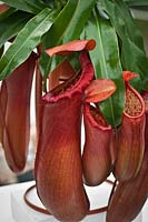 Nepenthes 'Linda', a shortlisted entry for 'Plant of the Year', RHS Chelsea Flower Show 2012