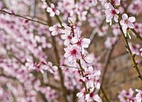 Prunus dulcis - almond blossom in March