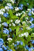 Myosotis - white and blue forgetmenots