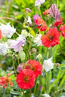 Geum 'Red Wings' with Aquilegia