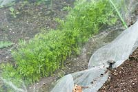 Garden carrot crop covered with barrier mesh to prevent infestation of carrot fly