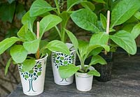 Recycled paper cups used as starter pots for seedlings