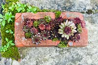Sempervivum - Houseleeks in old red brick with moss