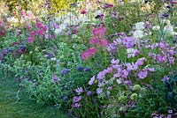Summer border with Ammi majus 'Queen of Africa', Cerinthe major 'Pride of Gibraltar', Cleome spinosa 'Sparkler Rose' and 'Sparkler White', Cosmos bipinnatus 'Sonata Rosa', Trachelium caeruleum 'Passion in Violet', Verbena bonariensis, Verbena rigida 'Polaris' and Zinnia elegans 'Benarys Riesen Violett'