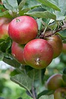 Malus domestica 'Devonshire Quarrenden', a very old English apple variety with a strawberry like flavour