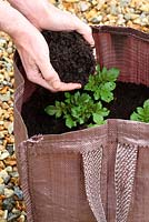 Step by step of planting seed potatoes 'Charlotte' in a growing bag - As shoots appear, cover with another layer of compost 4 inches deep and repeat this process twice more until 2 inches from the top of the bag