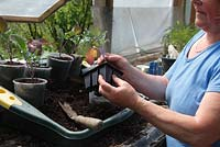 Potting on purple sprouting broccoli - gently squeeze the cell to release the plant plug