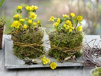Eranthis hyemalis in pots surrounded with moss and willow wreaths