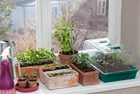 Seedlings in pots and trays on windowsill