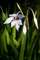 Gladiolus murielae - Acidanthera - butterfly orchid