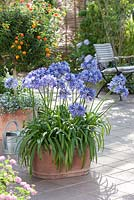 Container with Agapanthus africanus