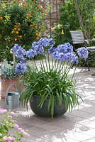 Container planted with Agapanthus africanus
