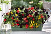 Container planted with Petunia, Verbena 'Voodoo Red' and Bidens ferulifolia