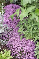 Part of 'Urban Oasis'. Hampton Court Flower Show 2012. Thymus citriodorus with sage and angelica foliage.