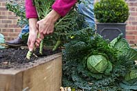 Step by step growing Cabbage 'Savoy Estoril F1' - Harvesting - Woman pulling up mature cabbages