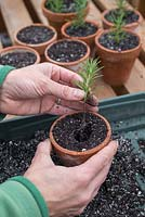 Step by step - Taking rosemary cuttings - re-potting