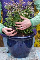 Blueberry 'Sunshine Blue' - planting in container