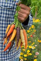 Man holding freshly harvested carrots in different colours