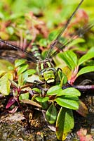 Aeshna Cyanea - Female Dragon Fly, Southern Hawker on Cotoneaster dammeri