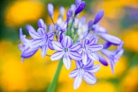 Agapanthus 'Gayle's Lilac'