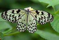 Paper Kite butterfly - Idea Leucomae