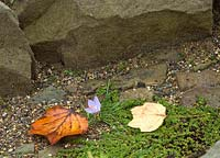 Colchicum autumnale - Autumn crocus on rockery with fallen leaves of Liriodendron