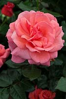Rosa 'Gordons College', Harkness Roses