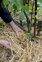 Adding straw mulch around young Fig tree to protect from frost