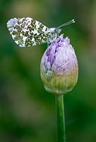 Orange Tip butterfly on an allium bud