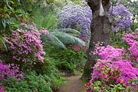 Looking along a woodland path with Rhododendron 'Hinamayo' - Kurume Azalea in the foreground with tree fern and R. augustinii beyond