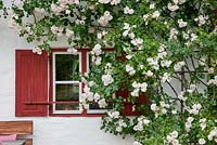 Rosa 'New Dawn' covers window of a house with red painted shutters