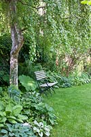 Wood and iron garden bench on a lawn next to shady planting with Adiantum pedatum, Astilboides tabularis, Betula, Brunnera macrophylla, Dryopteris and Hosta